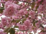 080420八重桜ピンク