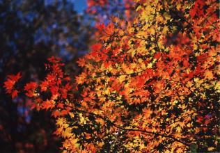 日原の紅葉