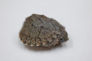 カブトニオイガメ1