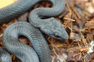 カラスヘビ2