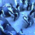ペンギン様のお通りだ~。