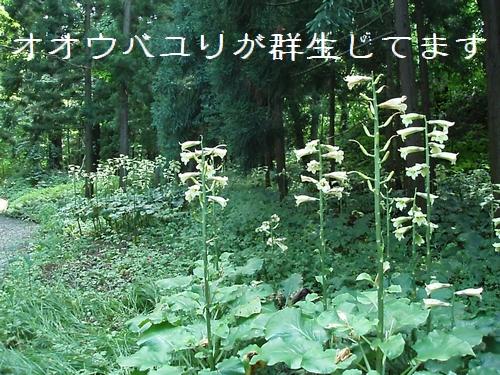 ooubayuri02.jpg