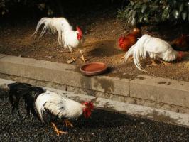 伊勢神宮の神鶏