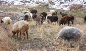 キルギスのひつじの群れ