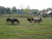 モンツァの牛さん