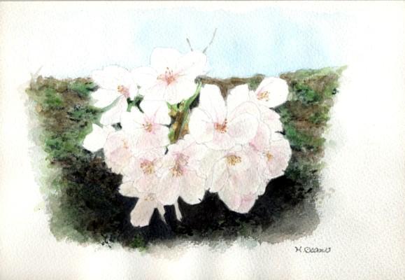 水彩「桜」