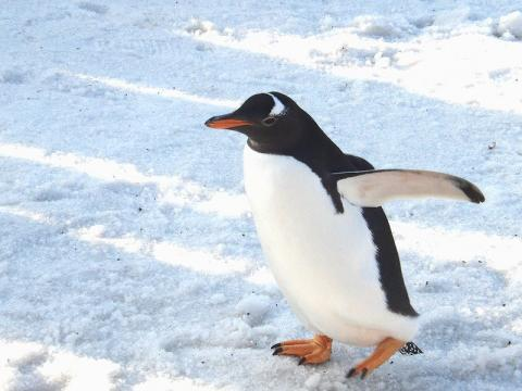 ジェンツーペンギン 2