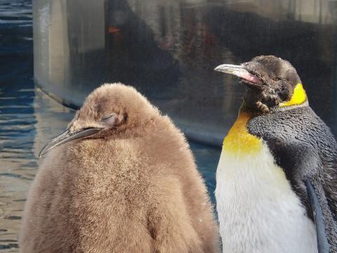 キングペンギン 2