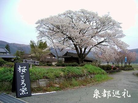 20060409sakurakokorokama1.jpg
