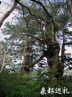 20060423joumonsugi07.jpg