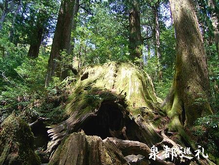 20060423joumonsugi10.jpg