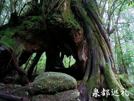 20060423joumonsugi4.jpg