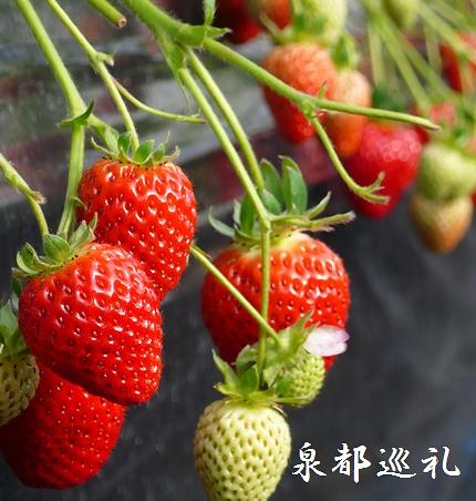 20080210ichigo01.jpg