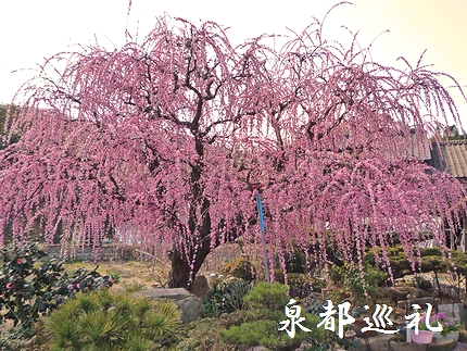 20080301shidareume02.jpg