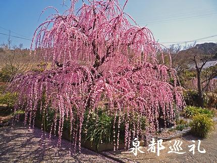 20080301shidareume03.jpg