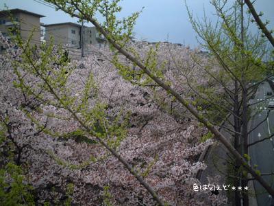 sakuicho4.jpg