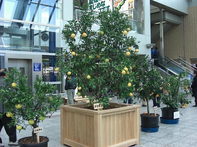 柑橘類展示