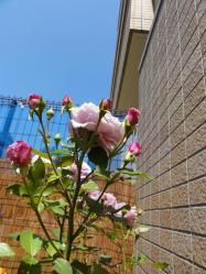 aozora_rose.jpg