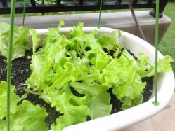 lettus.jpg