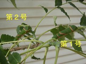 揚羽の幼虫1号&2号