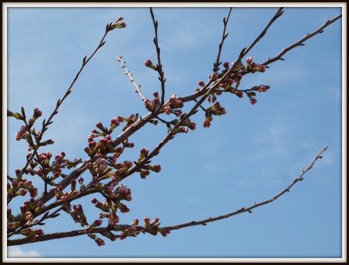 桜(3月)