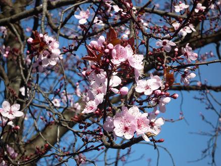 2009.03.07 近所の桜