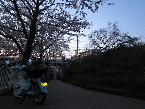 近所の桜 1