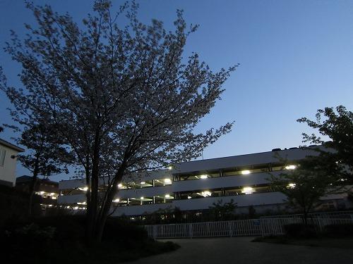 近所の桜 4