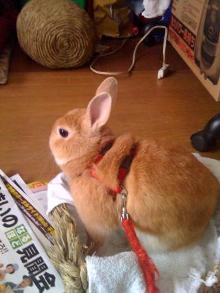 ミニウサギのラビで~す。