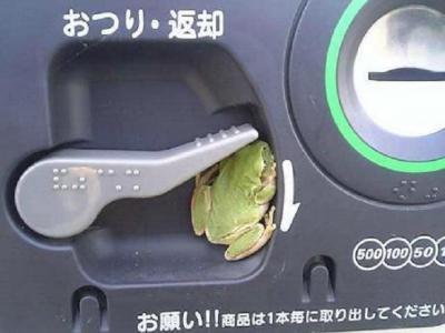 お邪魔なカエル