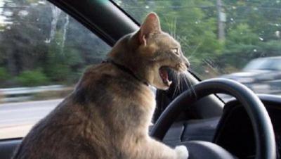 運転荒い猫