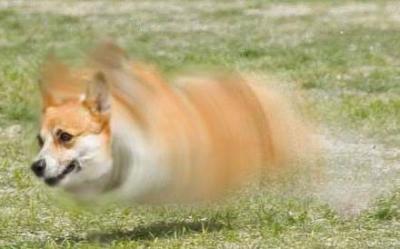 スクリュー犬