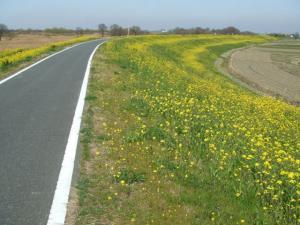 菜の花サイ道
