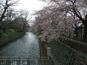 羽村取水堰からの桜