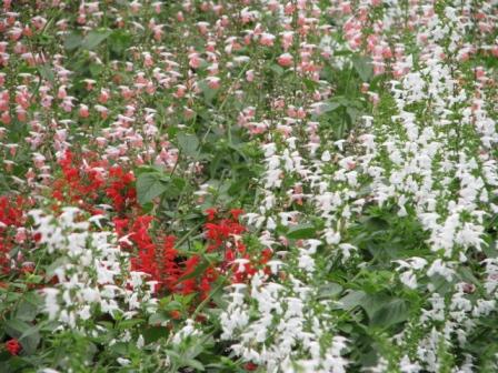 2008.09.28-サルビア花壇
