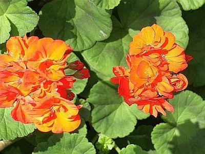 赤い花 2 DSCF2414 s