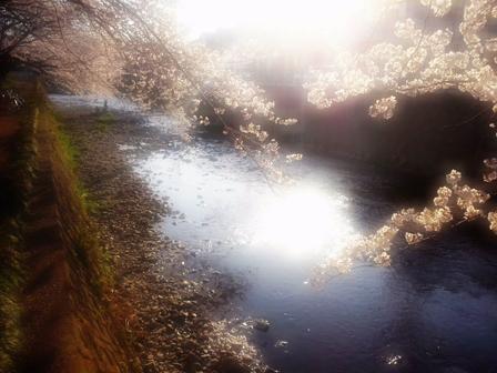 夕映え千本桜web