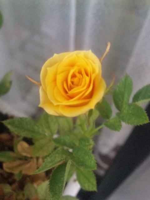 ミニ薔薇 ニューイビザ