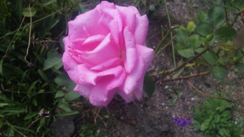 地植え薔薇