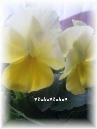よく咲くスミレ レモネード