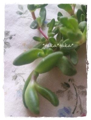 Aptenia 花蔓草