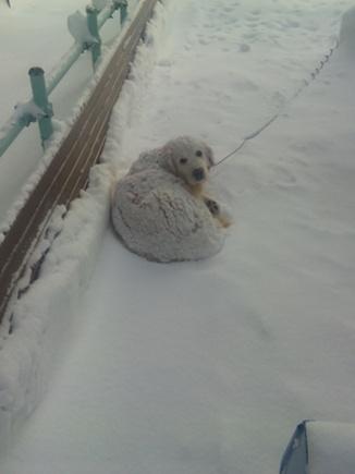雪だるま犬