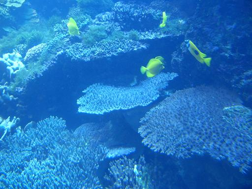 テーブル珊瑚1