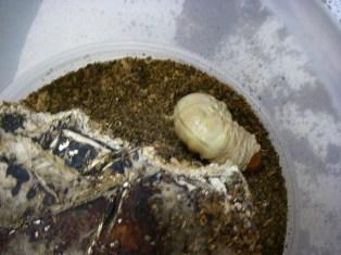 ローゼン幼虫