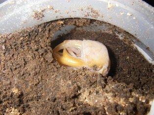 タイワンオオ♂蛹