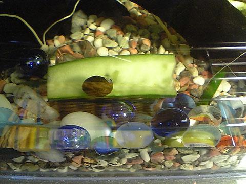 きゅうり+石巻貝