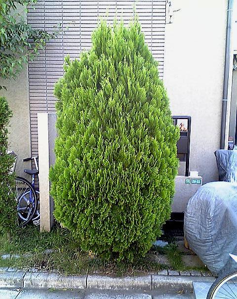 植木剪定前