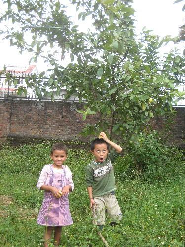 アムチ宅のグワバ木