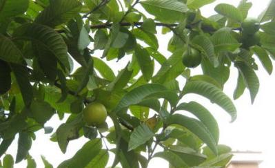 アムチ宅のグワバ木2