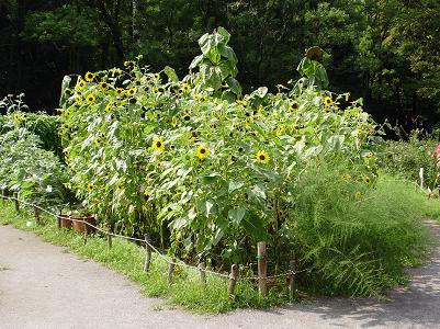200905代々木公園ヒマワリ